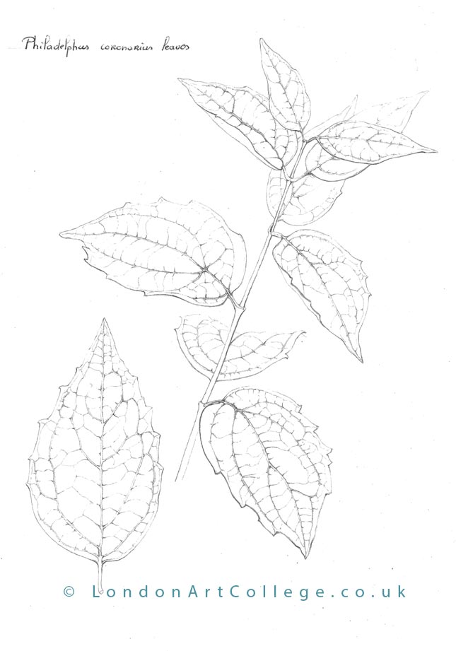 Botanical Drawing Course