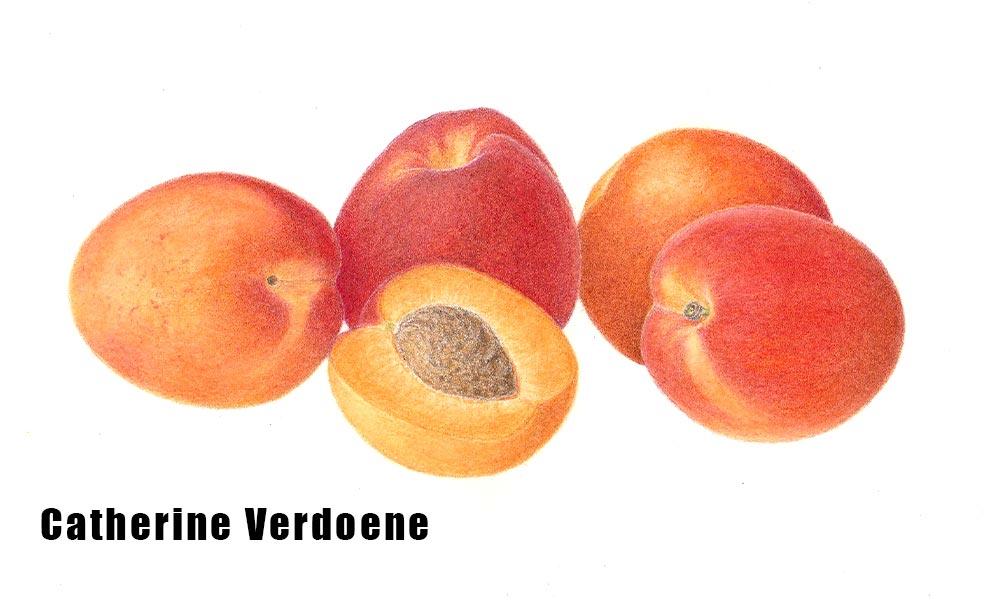 Catherine Verdoene